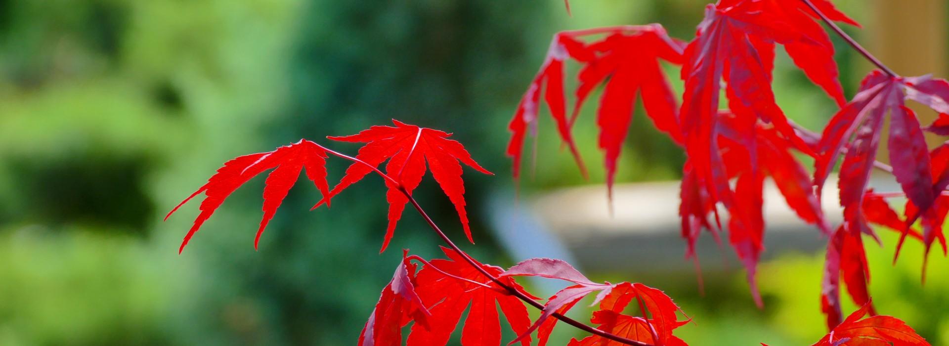 Японски клен - аристократът във Вашата градина