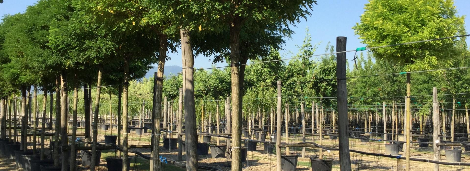 Широколистни дървета