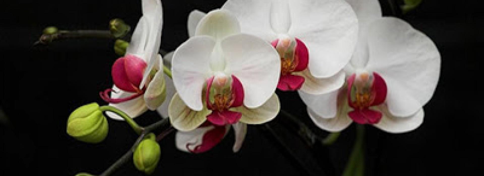 Орхидеята - Принцесата на интериорните цветя