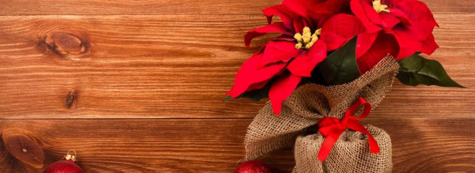 Коледната звезда - символ на празнично настроение
